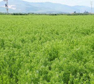 קצח אורגני בשדה אליהו