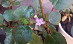 Trianthema-portulacastrum-L