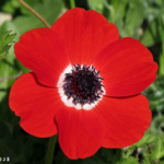 flower-Red-Anemone